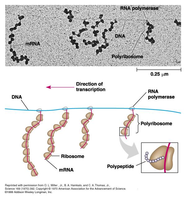 external image 138831_polyribosomes.jpg