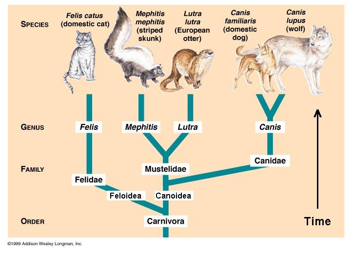 Evolution of mammals cat family