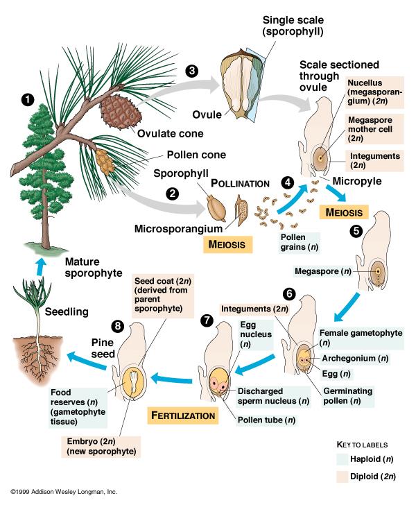 En nakenfröig växts livscykel.