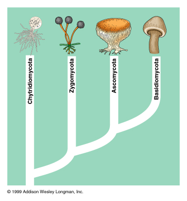 Phylogenetic tree of fungi. Not included are deuteromycetes, the reason for which is below. (Matt B - Source 5)