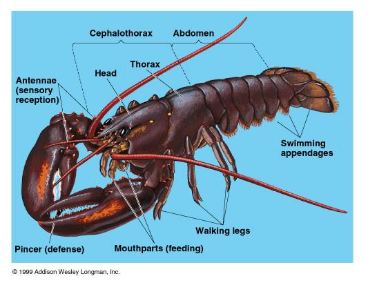 A Decapod Crustacean (http://www.mun.ca/biology/scarr/Arthropoda.htm)