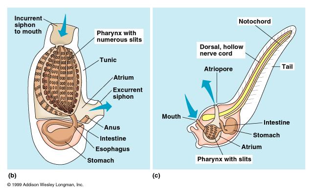Urochordata Diagram Urochordata