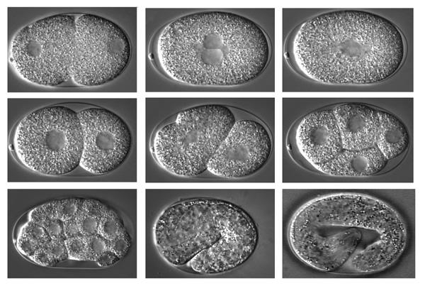 P Granules Function In Germ Line Formation Of Caenorhabditis Elegans