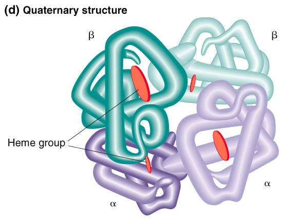Quaternary structure  assembly of multiple polypeptide subunitsQuaternary Structure