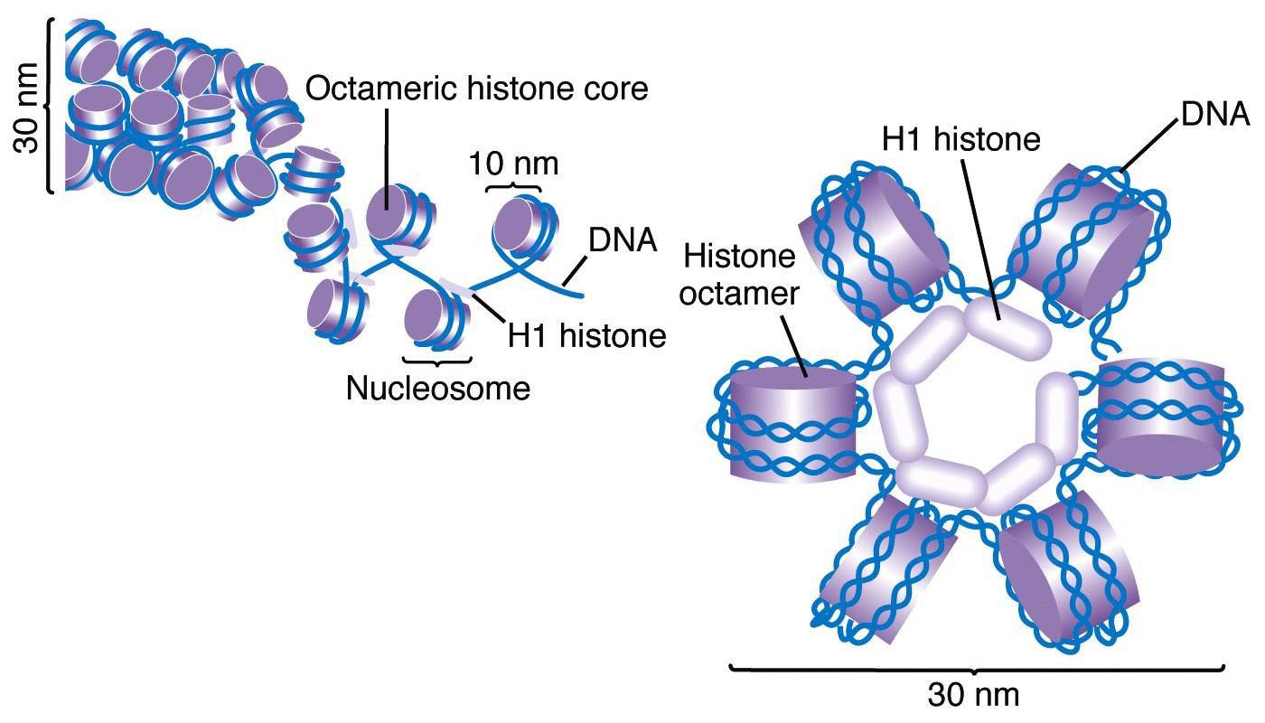 Histone Protein Structure