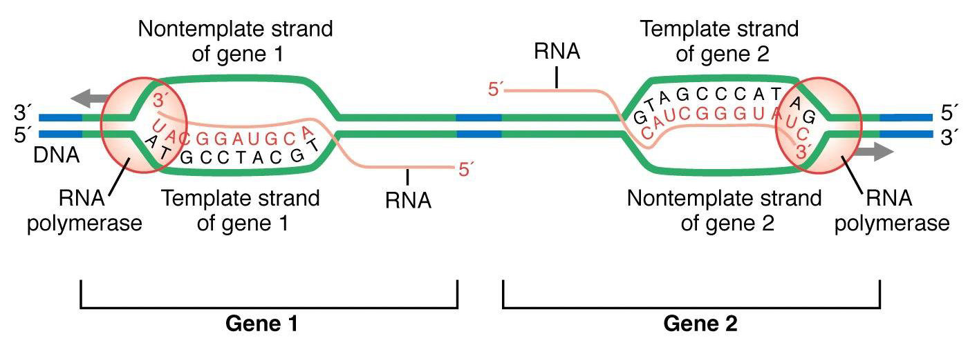 MGA2 03 05 on dna diagram labeled