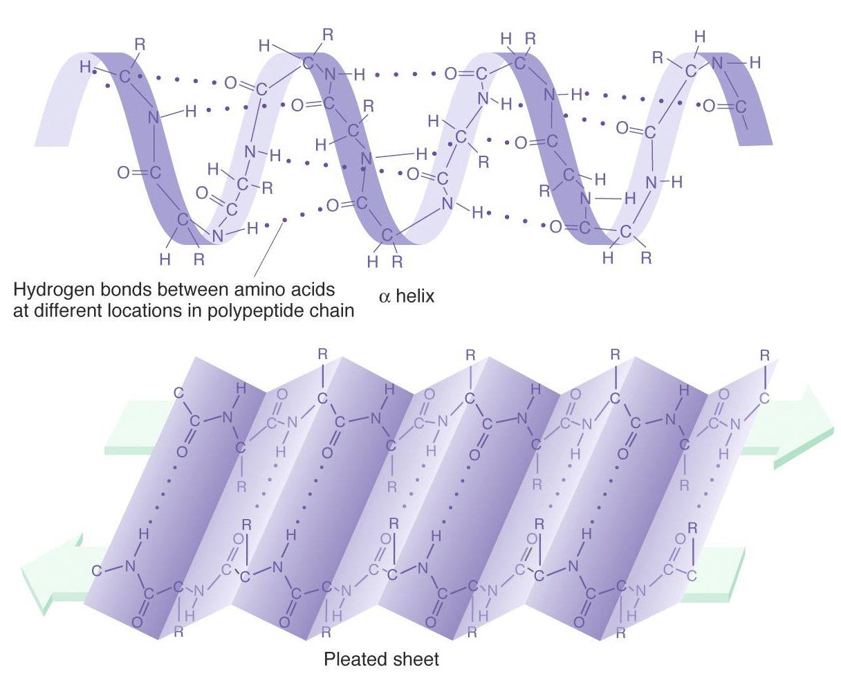 Alpha Helix And Beta Pleated Sheet Alpha helices  amp Beta pleated