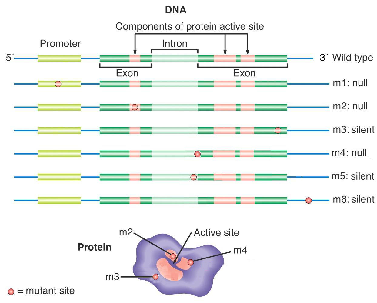 What Are Neutral Mutations Mga2 3 37 Html