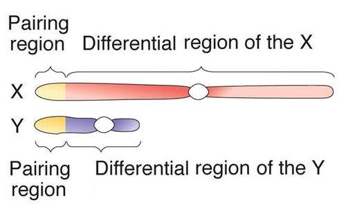 MGA2-05-07smc2 X And Y Chromosomes