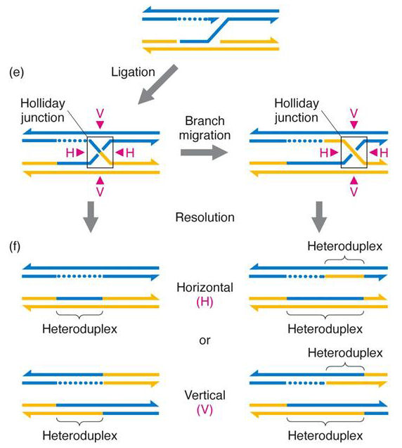 Mga2 06 18ef holiday whitehouse model of dna recombination ccuart Images