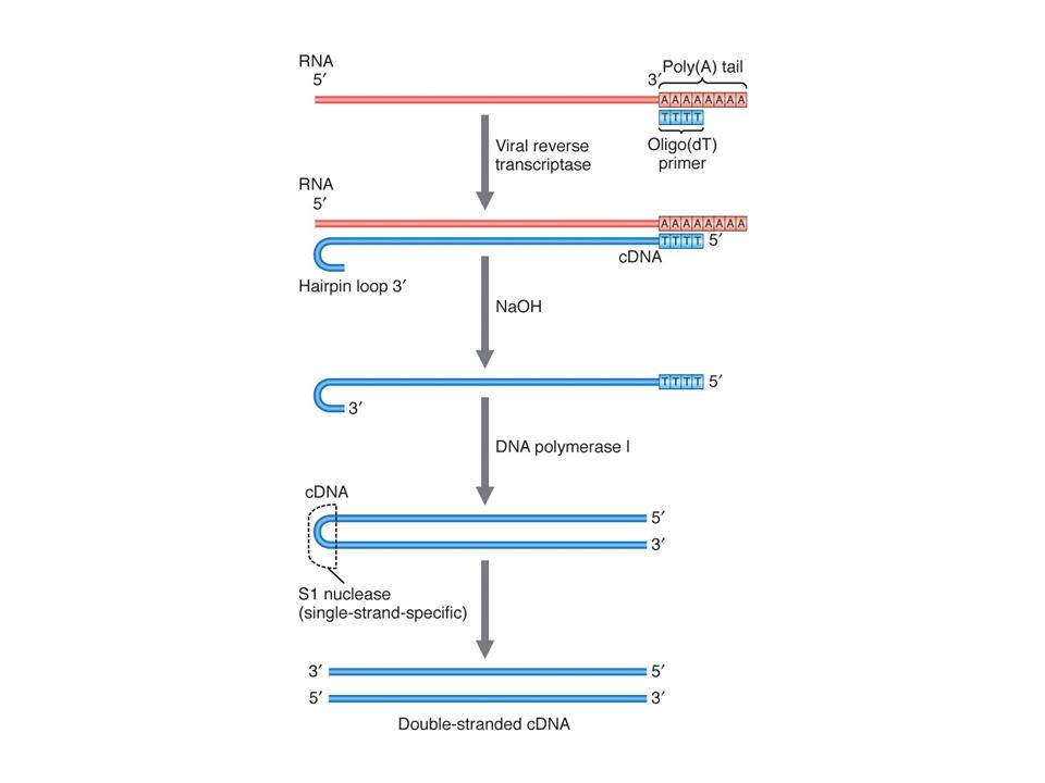Cdna synthesis of complementary dna cdna from mrna by reverse transcriptase maxwellsz