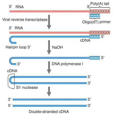 Mga2 08 04 mga2 08 04smcg synthesis of complementary dna cdna from mrna by reverse transcription maxwellsz
