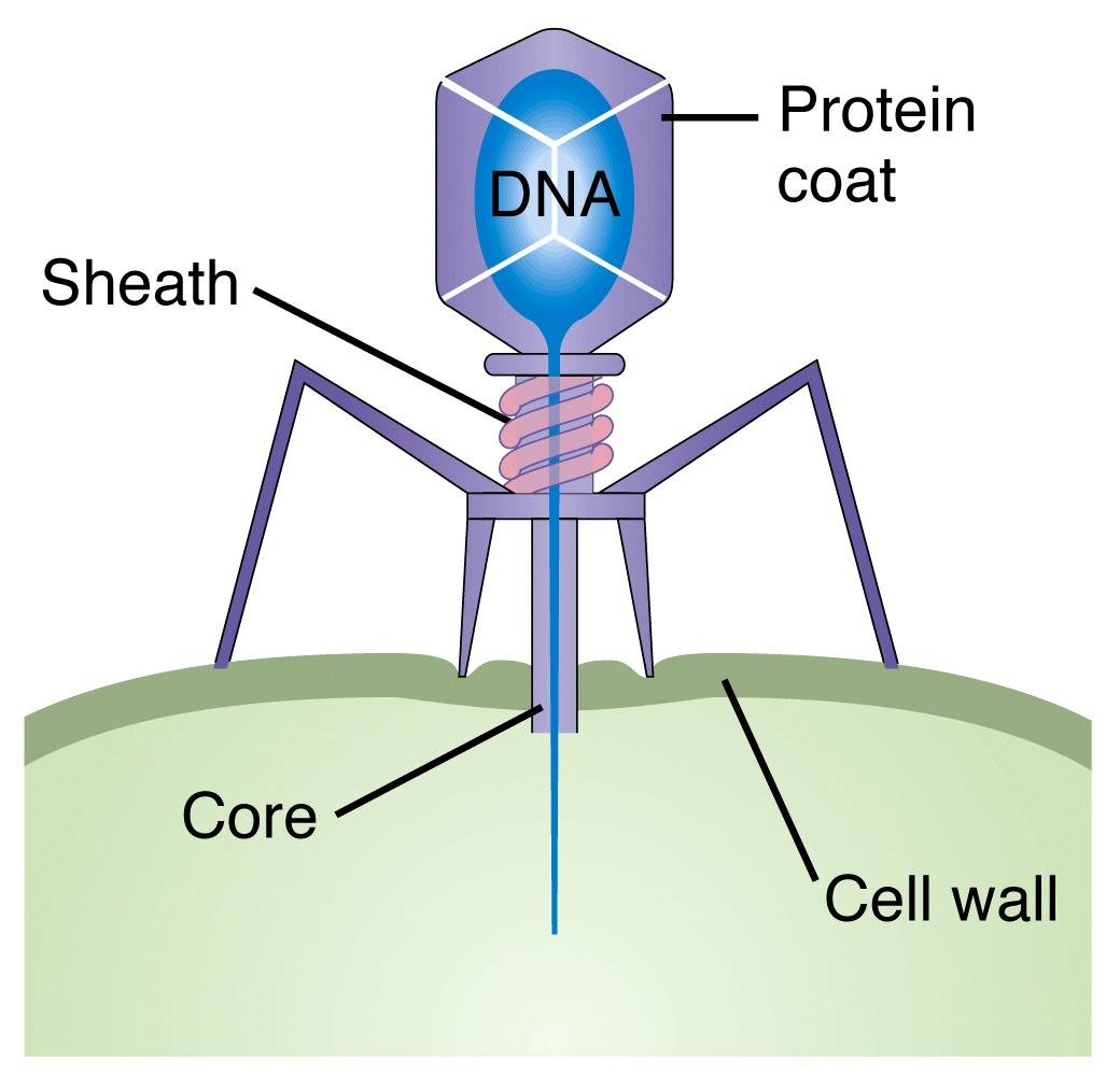 Pics For > Bacteriophage Model Instructions