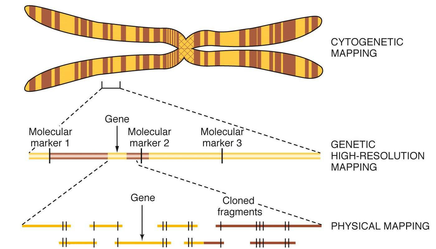 genome mapping with Gene Mapping Ex Les on 261761780 fig1 Outline Of HITS CLIP PAR CLIP And Several Variants ICLIP ICLAP And CRAC likewise Bio101ch12 further V03p0153 additionally Linkage map likewise Epigenomics Fact Sheet.