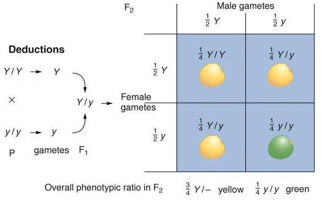 Monohybrid Cross Yelomdiffusion