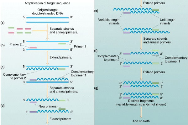The Polymerase Chain Reaction  PCR  in detailPolymerase Chain Reaction Diagram