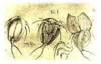 Triops Cancriformis A Living Fossil