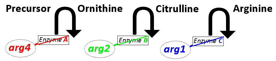 Amino Acid Derivatives Catecholamine Neurotransmitter