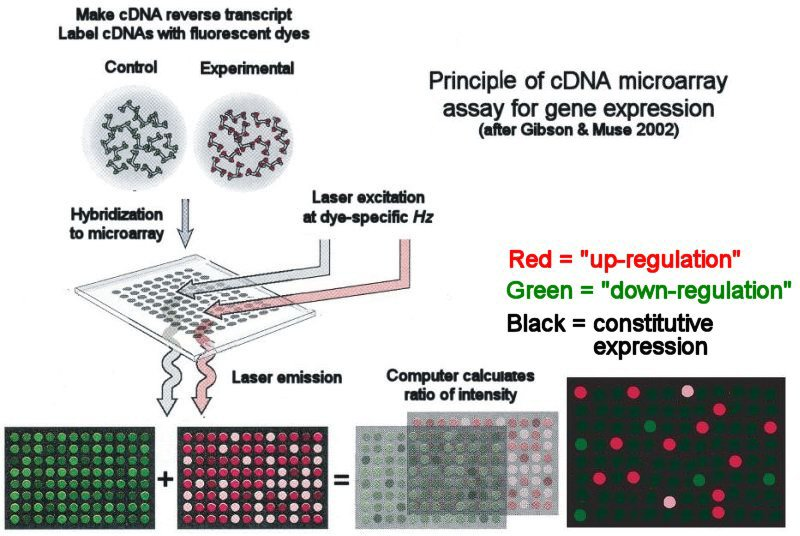 DNA Microarrays and Gene Expression