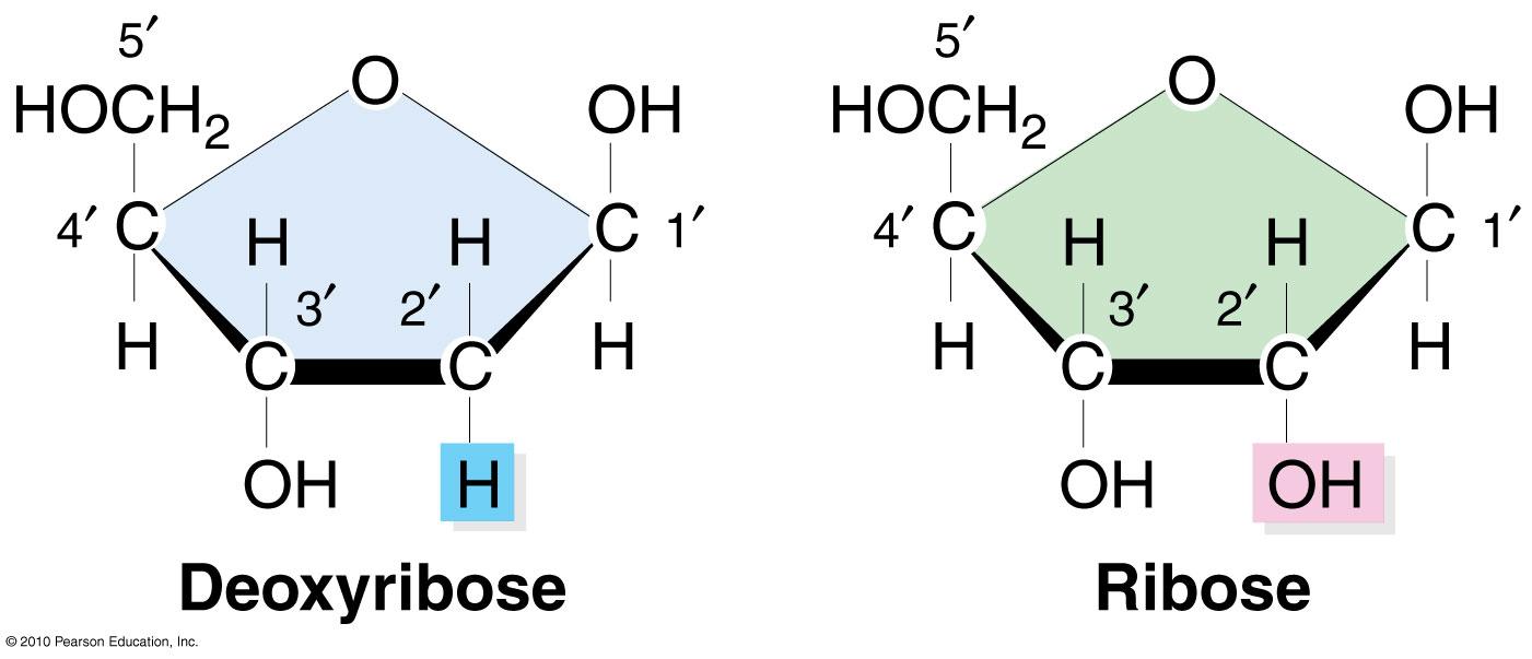 ribose amp deoxyribose sugars