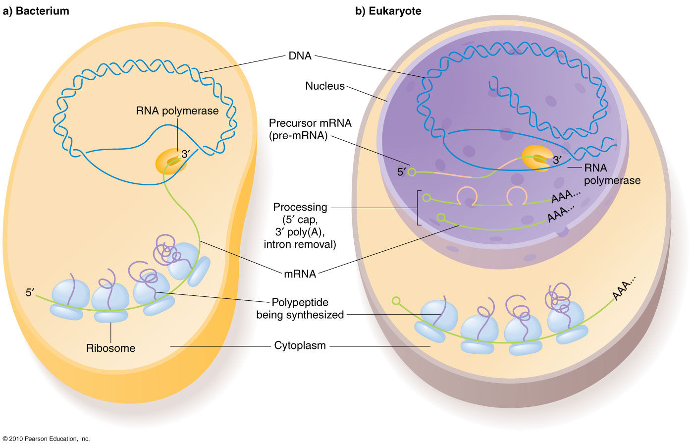 The central dogma in prokaryotic versus eukaryotic cells