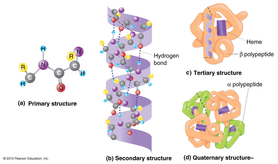 Alpha Helix And Beta Pleated Sheet Four levels of Protein