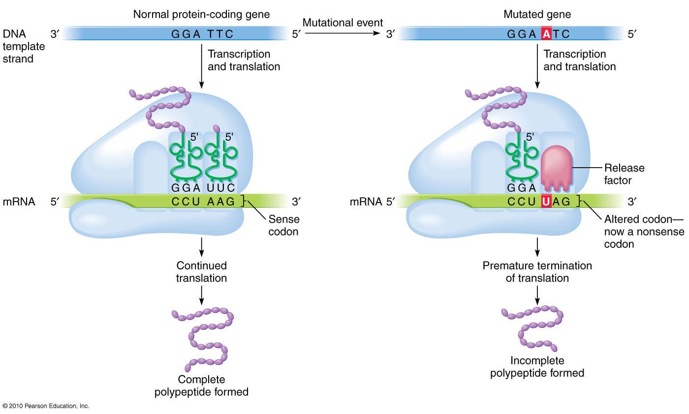 Non-sense mutations in DNA